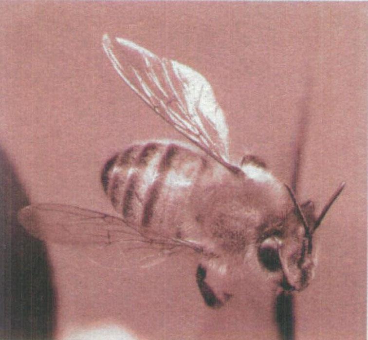 蜜蜂 是一种很聪明的动物,只 通过简单的舞蹈,就向群 体传达了蜜源的